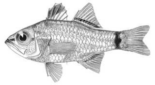 To NMNH Extant Collection (Apogon nigrocincta P07994 illustration)