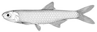 To NMNH Extant Collection (Anchovia apiensis P00639 illustration)