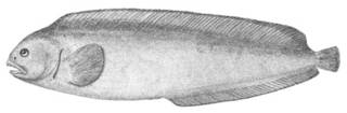 To NMNH Extant Collection (Anarhichas latifrons P00577 illustration)