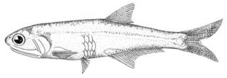 To NMNH Extant Collection (Anchoa eigenmanni P00611 illustration)