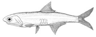 To NMNH Extant Collection (Anchoa filifera P00613 illustration)