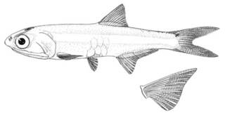 To NMNH Extant Collection (Anchoa lamprotaenia P00620 illustration)