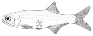 To NMNH Extant Collection (Anchoa mitchilli P00623 illustration)