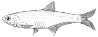 To NMNH Extant Collection (Anchoa mundeoloides P00625 illustration)