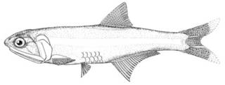 To NMNH Extant Collection (Anchoa scofieldi P00633 illustration)