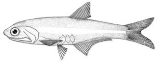 To NMNH Extant Collection (Anchoa schultzi P00634 illustration)