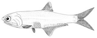 To NMNH Extant Collection (Anchovia producta P00641 illustration)