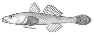 To NMNH Extant Collection (Aboma snyderi P00006 illustration)