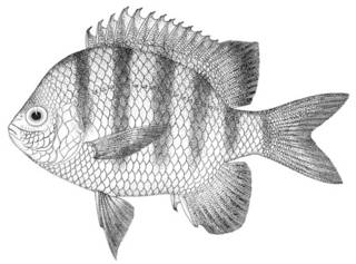 To NMNH Extant Collection (Abudefduf ascensionis P00014 illustration)