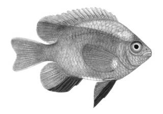 To NMNH Extant Collection (Abudefduf xanthonotus P00070 illustration)