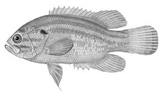 To NMNH Extant Collection (Acantharchus pomotis P00076 illustration)