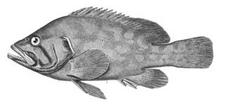 To NMNH Extant Collection (Acanthistius pictus P00081 illustration)