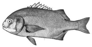 To NMNH Extant Collection (Anistremus scapularis P00695 illustration)