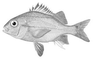 To NMNH Extant Collection (Anistremus surinamensis P00697 illustration)