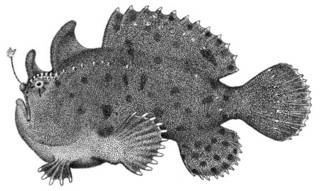 To NMNH Extant Collection (Antennarius nox P00747 illustration)