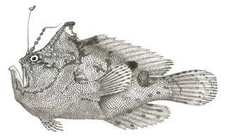 To NMNH Extant Collection (Antennarius rosaceus P00758 illustration)