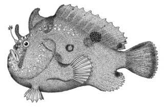 To NMNH Extant Collection (Antennarius sanguifluus P00760 illustration)