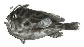 To NMNH Extant Collection (Antennarius subteres P00768 illustration)