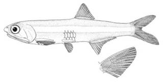 To NMNH Extant Collection (Anchoa tricolor P01630 illustration)