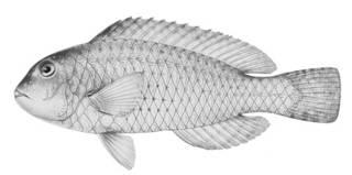 To NMNH Extant Collection (Scaridea farrandi P06213 illustration)