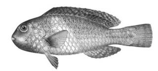 To NMNH Extant Collection (Scaridea aerosa P06214 illustration)