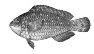 To NMNH Extant Collection (Scaridea balia P06215 illustration)