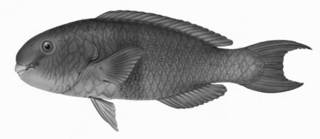 To NMNH Extant Collection (Callyodon ruberrimus P06232 illustration)