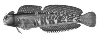 To NMNH Extant Collection (Scartichthys enoshimae P06234 illustration)