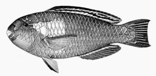 To NMNH Extant Collection (Scarus bowersi P06179 illustration)