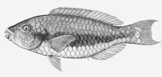 To NMNH Extant Collection (Callyodon latifasciatus P06094 illustration)