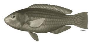 To NMNH Extant Collection (Callyodon upolensis P06105 illustration)