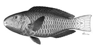 To NMNH Extant Collection (Callyodon pyrrhurus P05973 illustration)