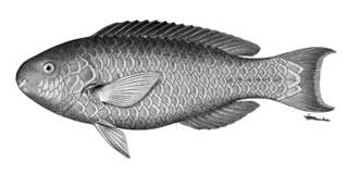 To NMNH Extant Collection (Callyodon erythacus P05974 illustration)