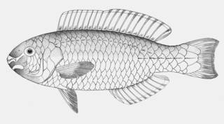To NMNH Extant Collection (Scarus nuchipunctatus P05993 illustration)