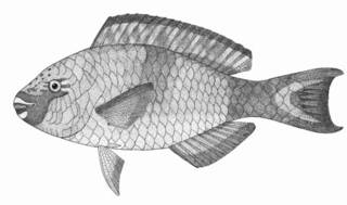 To NMNH Extant Collection (Scarus marshalli P06148 illustration)