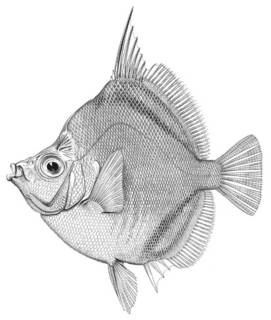 To NMNH Extant Collection (Antigonia rubescens P00785 illustration)