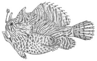 To NMNH Extant Collection (Phrynelox zebrinus P07960 illustration)