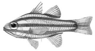 To NMNH Extant Collection (Apogon nigrofasciatus P00898 illustration)