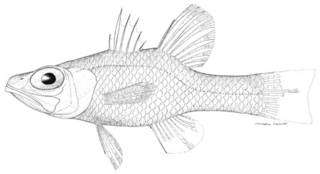 To NMNH Extant Collection (Apogon planifrons P00904 illustration)
