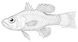 To NMNH Extant Collection (Apogon quadrisquamatus P00907 illustration)