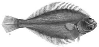 To NMNH Extant Collection (Araias ariommus P01560 illustration)