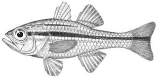To NMNH Extant Collection (Apogon kiensis P07997 illustration)