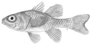 To NMNH Extant Collection (Apogon P08047 illustration)
