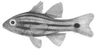 To NMNH Extant Collection (Apogon angustatus P09703 illustration)