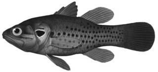 To NMNH Extant Collection (Apogonichthys isostigma P00910 illustration)