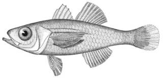 To NMNH Extant Collection (Apogonichthys mentalis P00915 illustration)