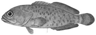 To NMNH Extant Collection (Aporops bilinearis P00927 illustration)