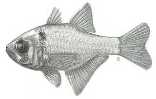 To NMNH Extant Collection (Archamia melasma P01150 illustration)