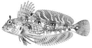 To NMNH Extant Collection (Archaulus biseriatus P01155 illustration)
