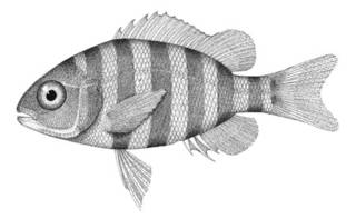 To NMNH Extant Collection (Archosargus probatocephalus P01161 illustration)